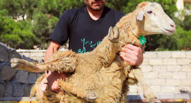 Baku townspeople appraise prices designed for sacrificial farm animal designed for Eid al-Adha